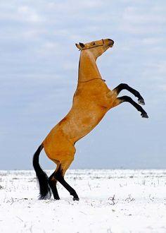 The very beautiful Akhal Teke horse