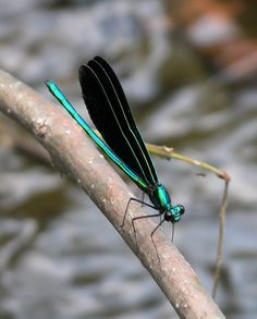 Rhamphotheca — Ebony Jewelwing Damselflies (Calopteryx maculata)