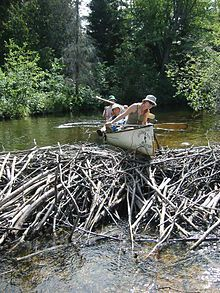 Beaver dam - Wikipedia, the free encyclopedia