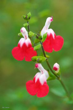 Salvia Hot Lip  My very favourite species of flowers. The always put on such a show and the birds and bees luv them.