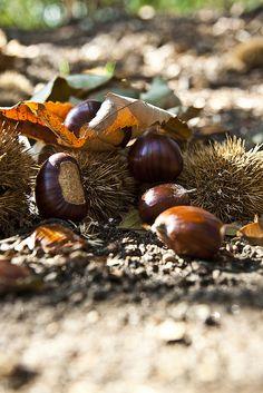 Laikā, kad braucu uz Bad Wildbad uz Midwifery Today konferenci, parasti pie viesnīcas bija pilna zeme ēdamo kastaņu (sweet chestnut).