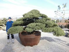 Juniperus Chinensis (Genevrier de chine) | benvenuti su nippontree FRA | nippontree.it