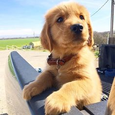 Obsessed With Goldens