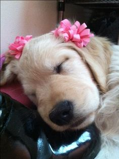 73 Best Frieda Images Golden Retrievers Golden Retriever Puppies