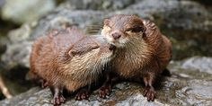 Otters sweetly nuzzle each other - November 3, 2014