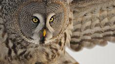 Owl white wallpaper