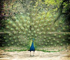 peacock at mayield park. austin, tx.