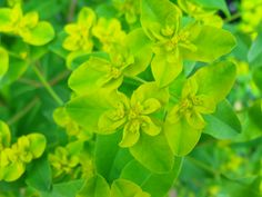 Euphorbia flowers - love the zing of lime green in the garden :)