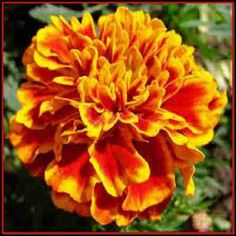 50 African Marigold Flower Seeds  Under The by UnderTheSunSeeds, $1.99