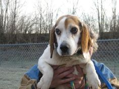 I'm Dakota! I am an 8-year old Beagle mix and I am so happy to be living in my new foster home. I came to TAGS from a shelter in Kentucky where, due to my age, I was on The List. Luckily, TAGS swooped in and saved me just in the nick of time. Adopt Dakota from The Animal Guardian Society! http://animalguardian.org