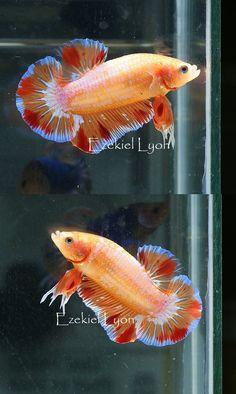 AquaBid.com - Item # fwbettashmp1390151094 - Orange Fancy HMPK  - Ends: Sun Jan 19 2014 - 11:04:54 AM CDT