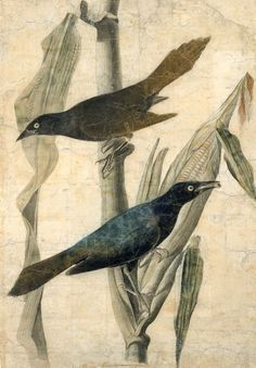 John James Audubon, Purple Grackle, n.d.
