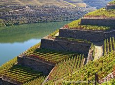 Douro vineyards (Port Wine). Portugal