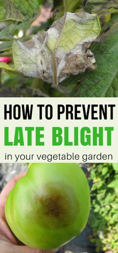 Quick To Build Moveable Greenhouse Options Late Blight Can Be Devastating To The Home Gardener. Figure out How To Prevent Late Blight Organically And Save Your Crops Before It Hits Organic Gardening Tips, Organic Farming, Vegetable Gardening, Organic Compost, Urban Gardening, Vegetable Bed, Kitchen Gardening, Indoor Gardening, Container Gardening