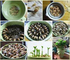 Remoja las semillas durante la noche, quítale la capa de afuera con cuidado y plantalas y ponle piedritas encima. Riégalas una o dos veces por semana y ve como crecen!
