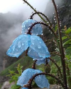 Himalayan blue poppies in the rain. Valley of Flowers National Park, Uttarakhand, India. Photo by Manoj Kinger Blue Flower Arrangements, Blue Flowers Bouquet, Light Blue Flowers, Blue Tulips, Flower Aesthetic, Blue Aesthetic, Valley Of Flowers, Flowers Instagram, Blue Poppy