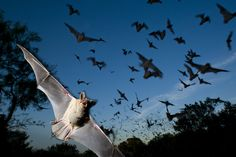 Mexican free-tailed bats fleeing a bat-cave preserve.