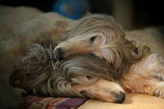 Two lazy Afghan hounds taking a nap together.