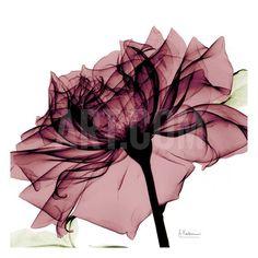 Chianti Rose Art Print by Albert Koetsier at Art.com