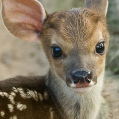 Baby deer ...beautiful photo !