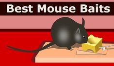 Mouse bait comes in handy to control the mice problem in home, basement, garage and farms. They are the best alternatives to the conventional glue stick mouse traps which are very inhumane and uncomfortable in disposing of the trapped mouse Best Mouse Trap Bait, Mouse Traps, How To Get Rid Of Gnats, Mice Control, Clean House, Farms, Lol, Rodents