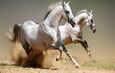 amaizing white horse are running HD desktop wallpape free download