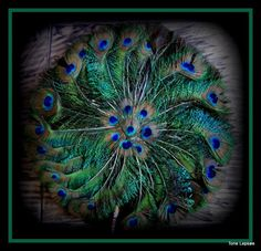 Peacock-feather . FB: TONE LEPSØES PICTURES