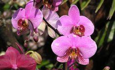Orchideen pflegen und vermehren - Orchideen zählen zu den beliebtesten Zimmerpflanzen der Deutschen. Dennoch haben viele Zimmergärtner Schwierigkeiten mit der Pflege dieser faszinierenden Pflanzengattung. Oft werden die Pflanzen zu stark gegosssen oder in ungeeignete Erde getopft. Wenn Sie unsere Pflegehinweise beachten, blühen die exotischen Schönheiten monatelang und lassen sich sogar leicht vermehren.