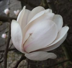 Magnolia Lente Spring In the garden