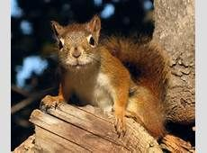 The News For Squirrels: Squirrel Facts: The Endangered Mount Graham Red Squirrel Flying Squirrel, Cute Squirrel, Baby Squirrel, Squirrels, American Red Squirrel, Little Critter, Nature Animals, Small Animals, Chipmunks