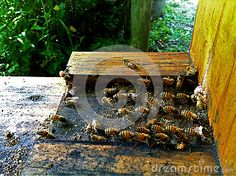 Photo about Honey bees active at the entrance to a hive coming going and some beating their wings to cool the hive with a draft. Image of drone, active, cooling - 59633811 Permaculture, Bees, Entrance, Decorative Boxes, Wings, Stock Photos, Texture, Patterns, Cool Stuff
