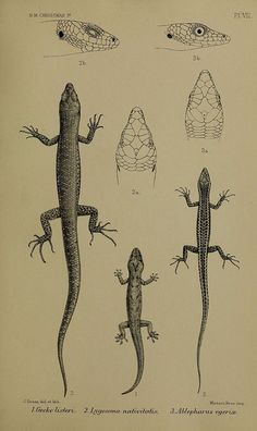 n388_w1150 by BioDivLibrary on Flickr.  Lizards from Christmas Island