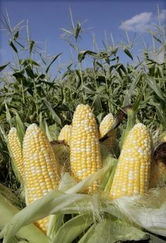 Iowa Sweet Corn