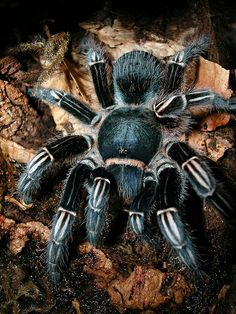 Aphonopelma seemsani - Anita Smith Home Cool Insects, Bugs And Insects, Spiders And Snakes, Les Reptiles, Itsy Bitsy Spider, Jumping Spider, Beautiful Bugs, Little Critter, Mundo Animal