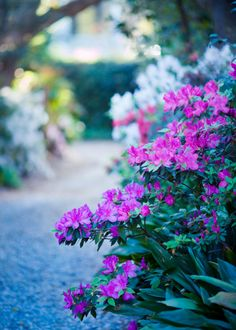 hueandeyephotography:  Azalea Path, Charleston, SC © Doug Hickok  All Rights Reserved More here… hue and eye