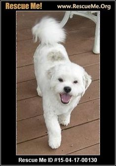 ID: DillonDillon (male) Bichon Frise Mix Age: Young Adult Good with Most Dogs, Good with Kids and Adults Average Energy, Average Temperament Neutered, Vaccinations Current Dillon is a 2 1/2 year old Beautiful White with Brindle accent Bichon/Shih Tzu/Poodle Mix who weighs 12 1/2 pounds. Dillon is in our rescue because he was surrendered to the shelter because his owners could not longer care for him so rescue was called. This darling little boy gets along with other small dogs his size at…