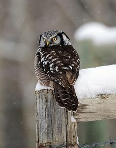 Northern Hawk Owl ♥ Our World's View & Positively Beautiful (fb) Owl Photos, Owl Pictures, Beautiful Owl, Animals Beautiful, Owl Bird, Pet Birds, Tier Fotos, Jolie Photo, Cute Owl