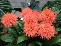 Native to the tropical rain forests of Africa, this Scadoxus cinnabarinus thrives in areas with warm temperatures, humidity, and shade.