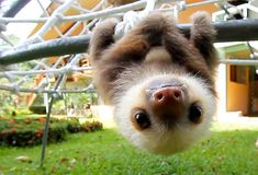 Upside down baby sloth.