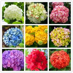 Cheap flower seeds, Buy Quality hydrangea flower seeds directly from China plant seeds Suppliers: 100pcs/bag Hydrangea Flower Seeds mixed color Bonsai Fort Viburnum Hydrangea Macrophylla Bonsai Plant Seeds for home garden