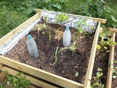 """18.05.2014,  Milpa Beet wächst, die kleinen Zucchini sind noch unter """"Plastik"""""""