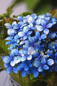 Blue Hydrangea (Spanish -Hortensia)