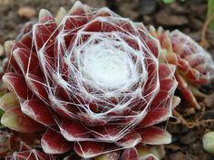 Sempervivum arachnoideum subsp. tomentosum (Woolly Cobweb Houseleek, Cobweb Hen and Chicks) → Plant characteristics and more photos at: http://www.worldofsucculents.com/?p=6415