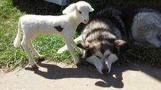 Okami  pensativa.,ya se hicieron amigos Husky, Dogs, Animals, Craft Work, Make Friends, Animales, Animaux, Pet Dogs, Doggies