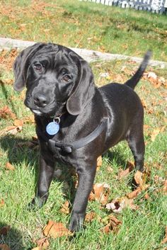 Maple is an adoptable Labrador Retriever, Beagle Dog in Pelham, NH Maple is a 4.5 month old Lab/Beagle mix; he's approximately 25lbs!  He has black lab coloring o ... ...Read more about me on @petfinder.com