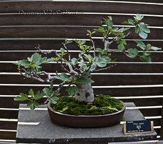 fig carica bonsai | Bonsai-Ficus Carica-Jardi Botanic de BCN 24 | Flickr - Photo Sharing!