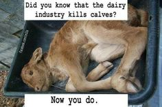 Going vegetarian is not enough! The dairy industry is the meat industry! This baby is VEAL! Or Trash so you can have his milk!! FORGET VEGETARIAN! GO VEGAN!!