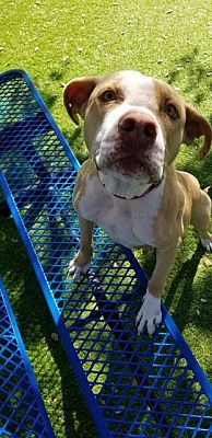 Fort Myers Fl American Staffordshire Terrier Meet Megan A Pet