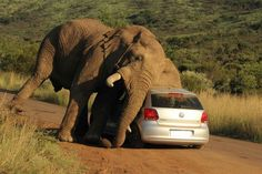 Elephant sees car, finds a use for it.  Elephant scratches itch on car Incredible photographs show elephant rubbing itself all over a car in South Africa; occupants unhurt. Photo: Armand Grobler / Barcroft Media