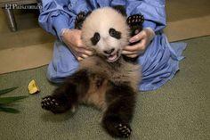 Hoy Mundo  Viernes, Noviembre 30, 2012  Estados Unidos. Un cachorro de panda gigante se extiende y muestra su vientre en el zoológico de San Diego, California.